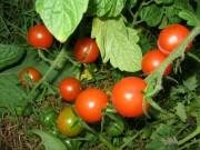 cherry grape tomato