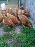 golden comet chckens-eating