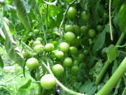 green cherry tomatos vine soulsbyfarm