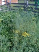 herbs dill basil garden soulsbyfarm