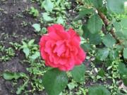 rose after rain soulsbyfarm