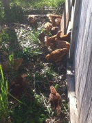 free range chickens outside