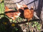 golden comet chickens freerange