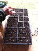 planting seeds intrays
