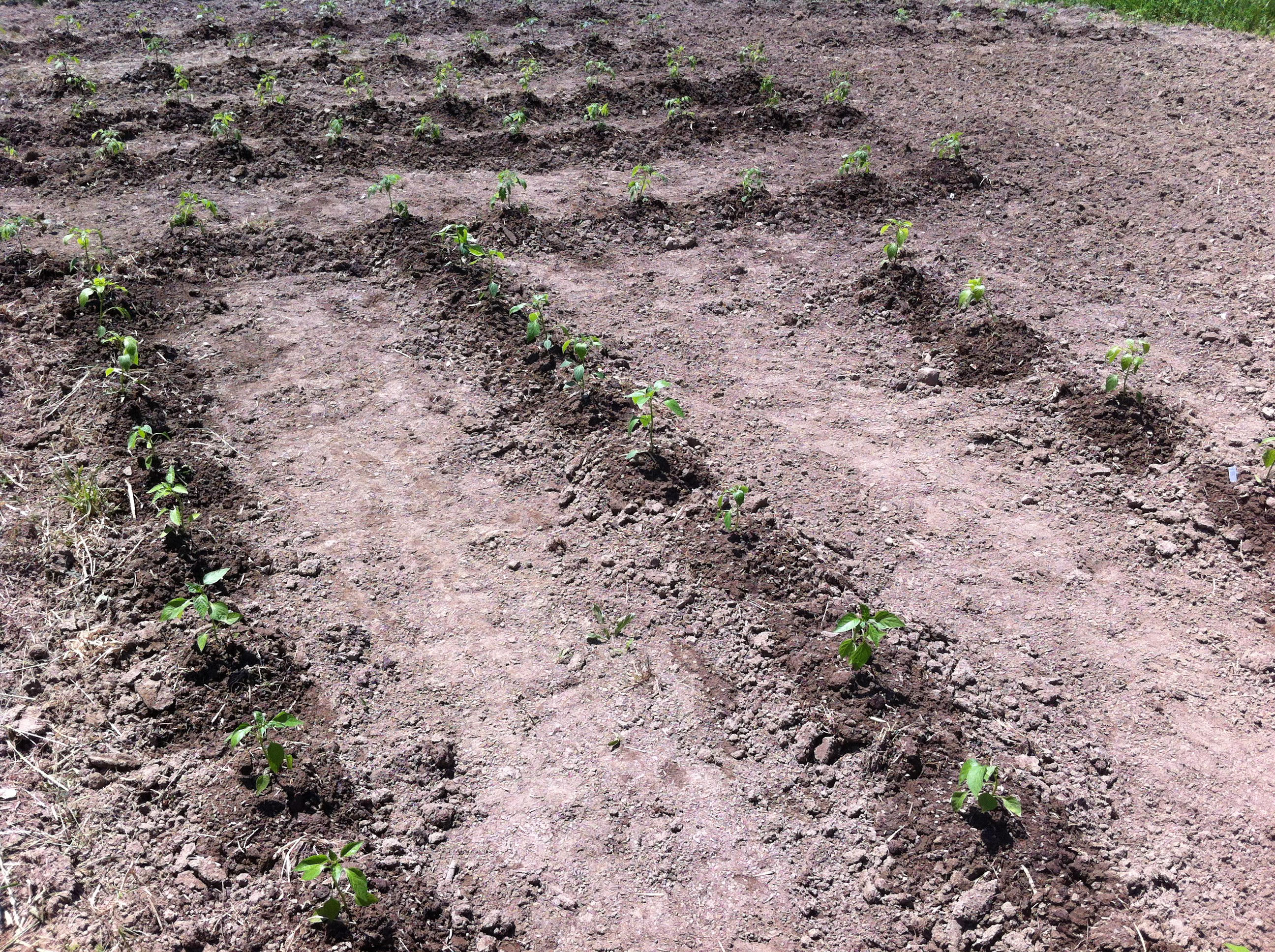 Garden plot pepper and tomato two barn farm - Profitable crops small plots ...