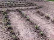 garden plot pepper andtomato