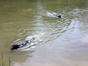labs swimming in pondfarm