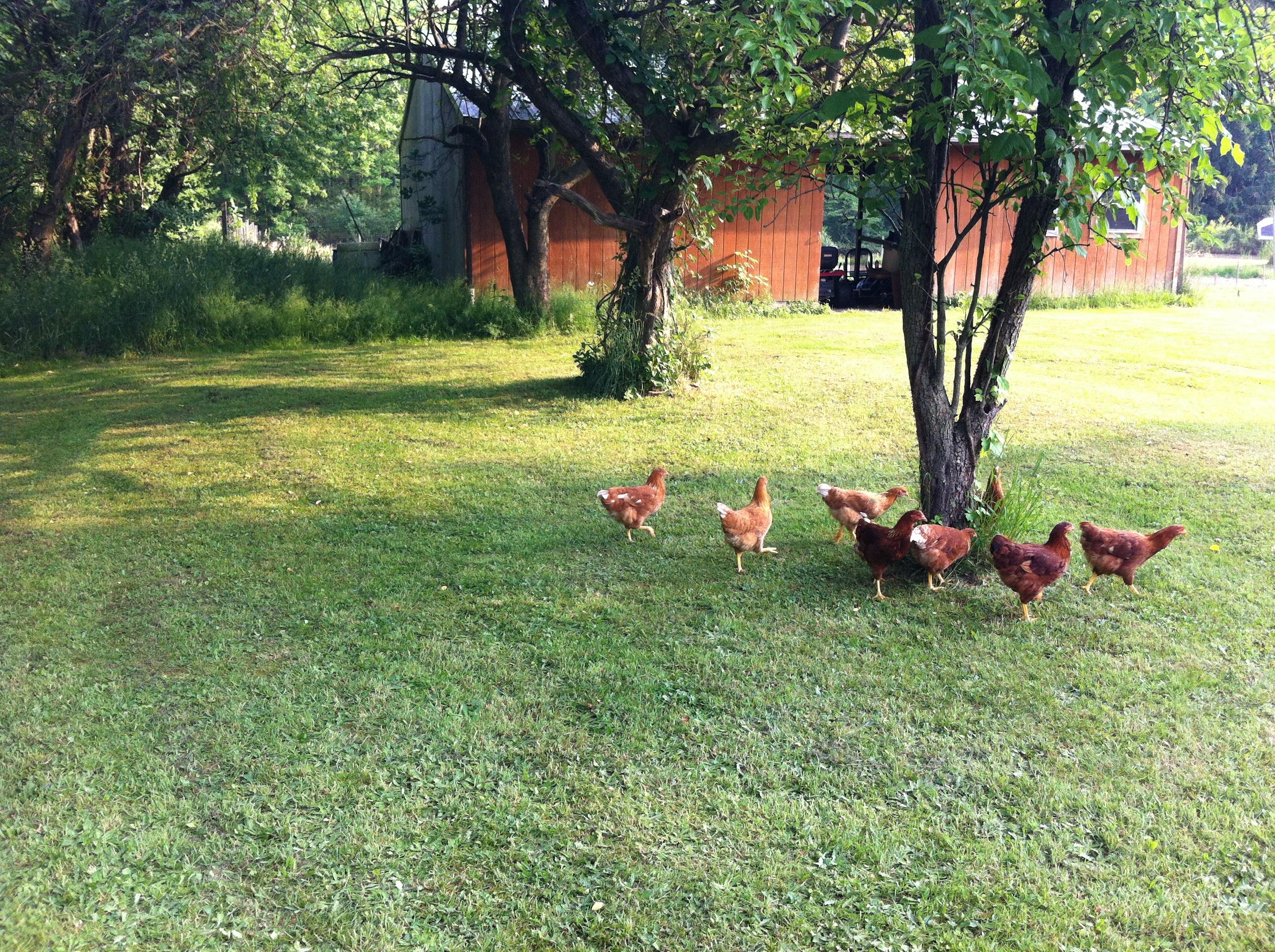 hens chickens free range two barn farm