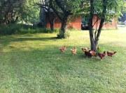 hens chickens freerange