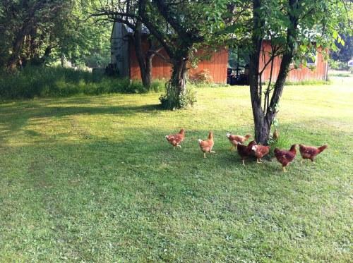 hens chickens free range