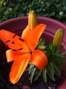 orange flower in bloomlily