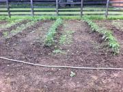 tomato plant rows