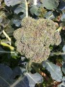 brocolli crown growing