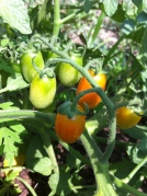 cherry tomato growing