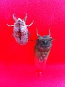 cicada locust molt