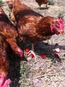 golden comet chickens 12months