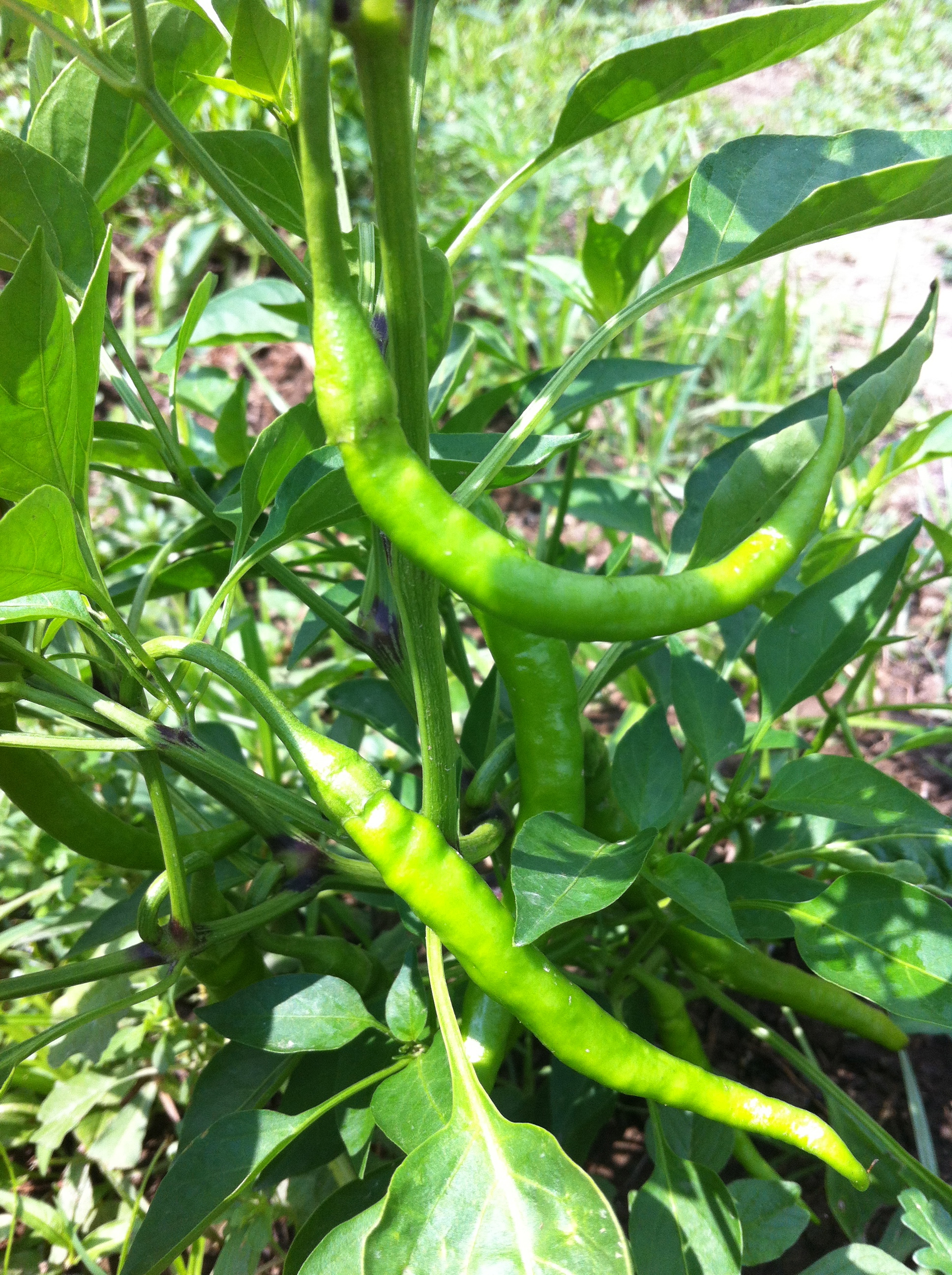 Thai hot pepper growing plant two barn farm - Planting pepper garden ...