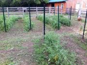 tomato rows filed