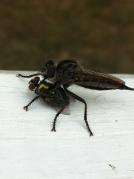 close up robber fly housefly