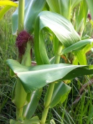 corn on stalk