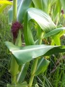 corn on stalk