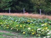 deer fence pumpkin patchfarm