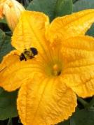 pumpkin flower beepolinating