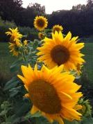 sunflower row inbloom