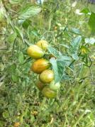 cherry tomato onvine