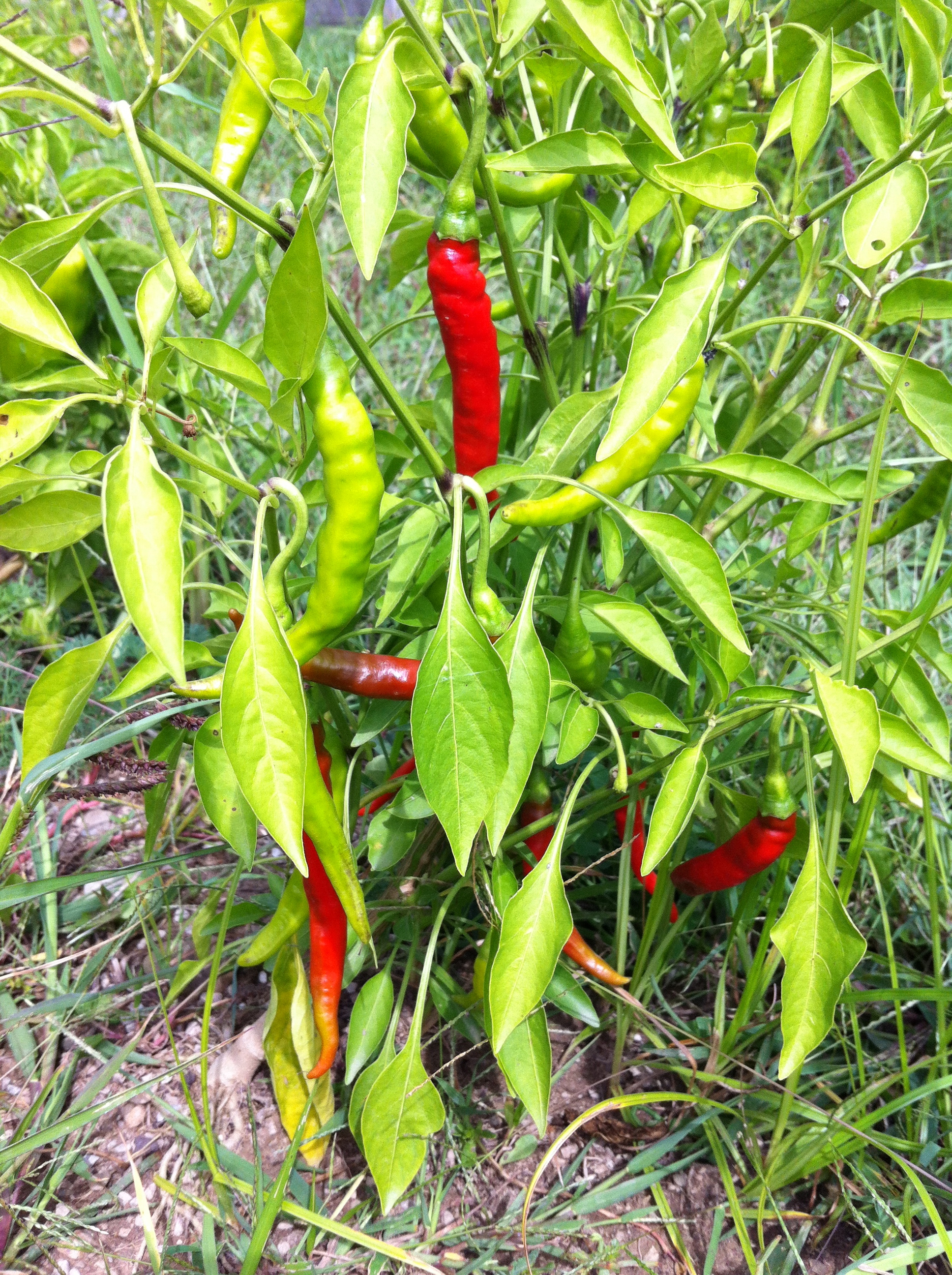 When to pick edamame and how to store them and pictures of the farm the soulsby farm - Planting pepper garden ...