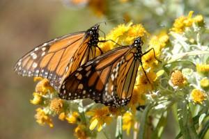 1008_butterfly121-300x200