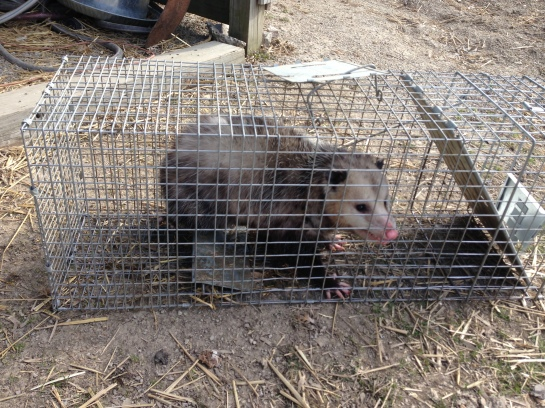 Opossum in trap
