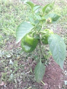 green peppers plant