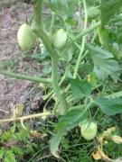 tomato growing garden