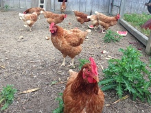 golden comet chickens
