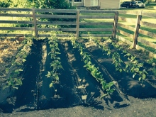 tight garden rows with weed fabric